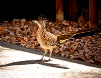 Backyard Roadrunner